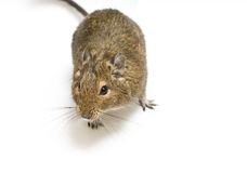 Degu. Exotic rodent degu (african squirrel Royalty Free Stock Photography