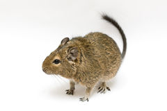 Degu. Exotic rodent degu (african squirrel Royalty Free Stock Image