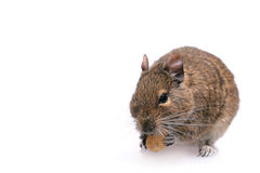 Degu. Photo of small degu during usual acts Royalty Free Stock Photo