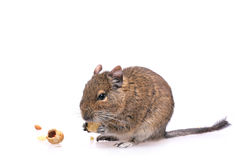 Degu. Photo of small degu during usual acts Royalty Free Stock Photos