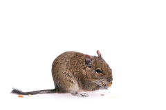 Degu. Photo of small degu during usual acts Royalty Free Stock Photography