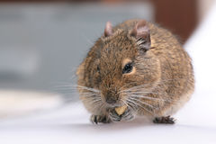 Degu Royalty Free Stock Photo