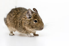 Degu Stock Photo