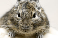 Degu. Exotic rodent degu (chilean squirrel) brown Royalty Free Stock Image