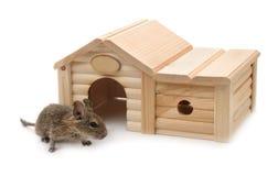 Degu ao lado da casa de madeira pequena do animal de estimação foto de stock