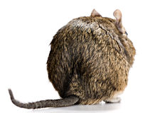 Degu back view Royalty Free Stock Photography