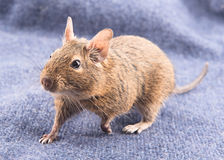 Degu on a blue background Royalty Free Stock Image