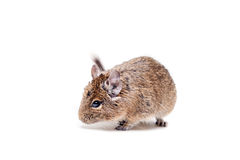 The Degu or Brush-Tailed Rat, on white Royalty Free Stock Images