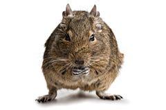 Degu chomikowy zwierzę domowe Fotografia Royalty Free