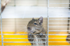 Degu climbs out of the cell Stock Images
