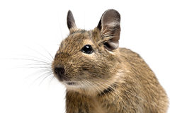 Degu closeup Stock Photography