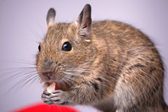 Degu commun, rat Balayer-Suivi, degus d'Octodon Image stock