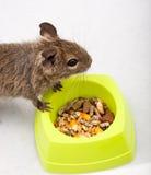 Degu comum, rato Escovar-Atado, degus de Octodon fotografia de stock royalty free