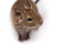 Degu comum, rato Escovar-Atado, degus de Octodon fotografia de stock
