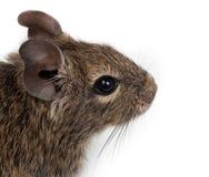 Degu comum, rato Escovar-Atado, degus de Octodon imagem de stock