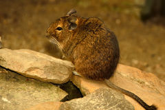 Degu in Cute Pose. This is a Degu, also known as a bushy tail rat. It is a native of Chile. Untamed degus, as with most small animals, can be prone to biting Royalty Free Stock Photos