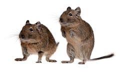 Degu de dois roedores Imagem de Stock