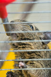 Degu drinking water Royalty Free Stock Images