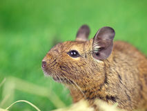 Degu eating timothy Royalty Free Stock Images