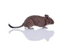 Degu-Eichhörnchenhaustier mit Reflexion Stockfotografie