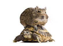 Degu hamster riding turtle Stock Image