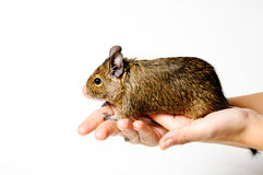 Degu on hand Royalty Free Stock Images