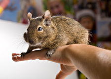 Degu on hand Royalty Free Stock Photography