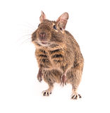 Degu isolated Royalty Free Stock Photo