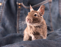 Degu on the jeans Stock Photos