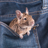 Degu in the pocket. Degu in the jeans pocket royalty free stock photography