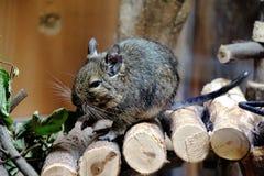 Degu mis en cage mangeant des feuilles Photographie stock libre de droits