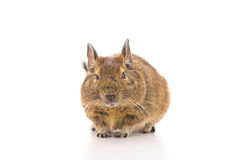 Degu mouse Royalty Free Stock Photos