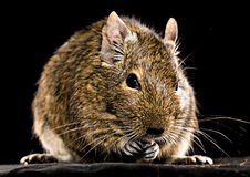 Degu mouse closeup on black background Royalty Free Stock Images