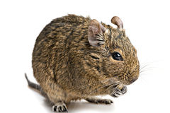 Degu mouse closeup isolated on white Royalty Free Stock Photos