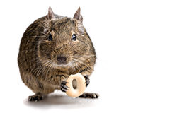 Degu mouse gnawing bake. Isolated on white background Royalty Free Stock Images