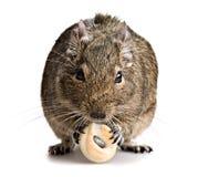 Degu mouse gnawing baking. Isolated on white background Royalty Free Stock Images