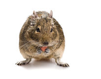 Degu mouse gnawing pet food Stock Photo