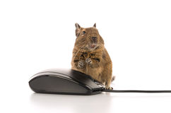 Degu mouse and mouse Stock Photo