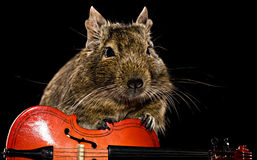 Degu mouse musician Royalty Free Stock Image