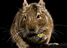 Degu mouse with pet food in paws Stock Images