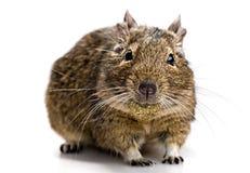 Degu mysz z zwierzęcia domowego jedzeniem w usta Fotografia Stock