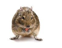 Degu myszy objadania zwierzęcia domowego jedzenie Zdjęcie Stock