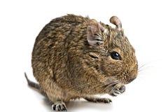 Degu myszy zbliżenie odizolowywający na bielu Zdjęcia Royalty Free