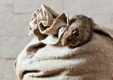 Degu (Octodon-degus) is een klein caviomorphknaagdier Royalty-vrije Stock Fotografie