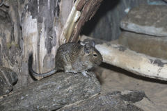 Degu, Octodon degus Royalty Free Stock Image