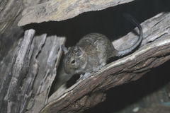Degu, Octodon degus Stock Images
