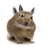 Degu pet Royalty Free Stock Photos