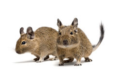 Degu pets Royalty Free Stock Images