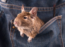 Degu in the pocket Stock Image