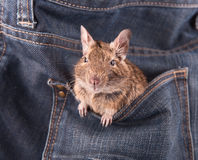 Degu in the pocket Royalty Free Stock Photo